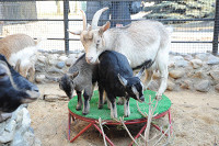 В Московском зоопарке родились семеро козлят