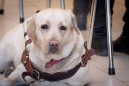 Полиция возбудила уголовное дело по факту кражи собаки-поводыря у слепой девушки