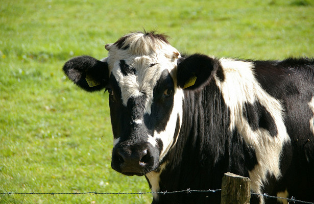 ВОмской области коровы заразились туберкулёзом