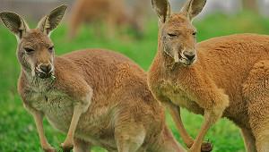 Гигантские кенгуру устроили боксерский поединок