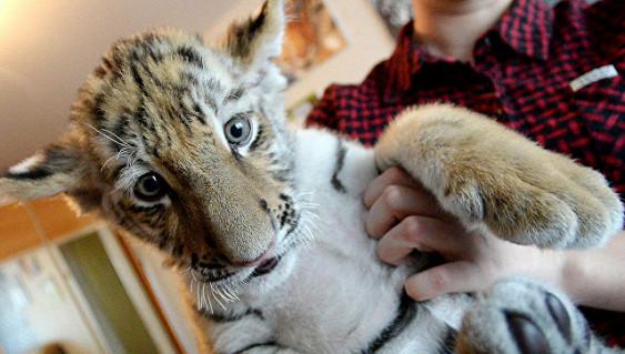 В Приморье прооперированный тигренок идет на поправку