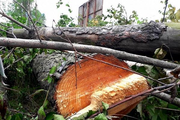 ВПетрозаводске неизвестные вырубили зеленую зону наглазах упрохожих