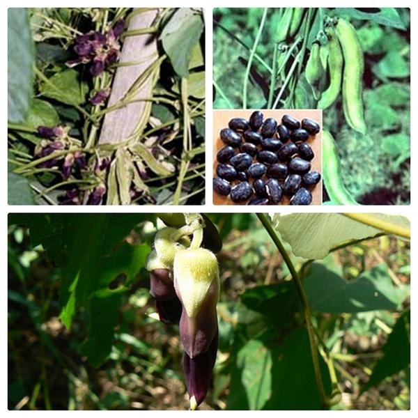 Растение мукуна жгучая значение