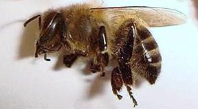 мертвые пчелы от простатита