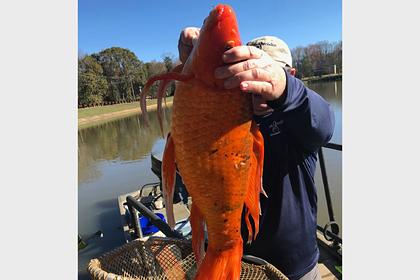 Обнаружена дикая золотая рыбка огромных размеров