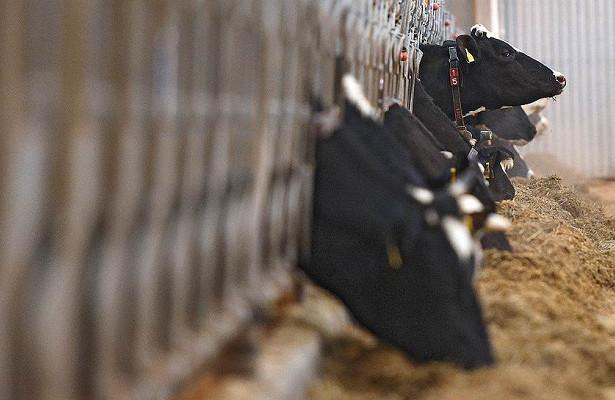 Совладельцы Major занялись животноводством
