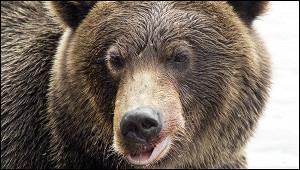 Россияне назвали медведя символом России