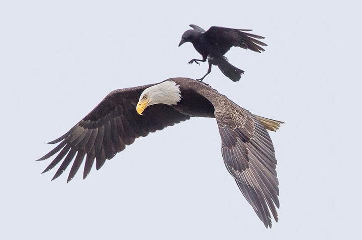 Ворон, оседлавший орла