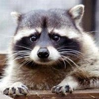 Фото Raccoon