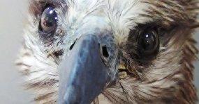 А глаз, как у орла...