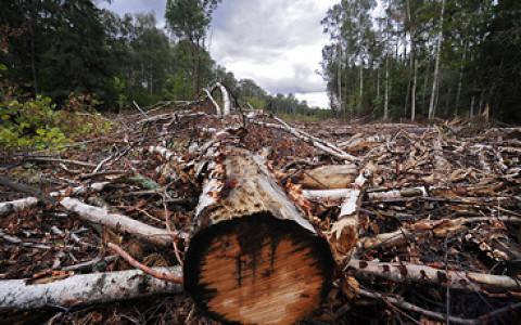 Где вырубают деревья