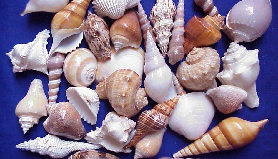 Выставки: Коллекция раковин морских моллюсков