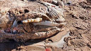 Наберегу моря нашли тушу существа длиной семь метров