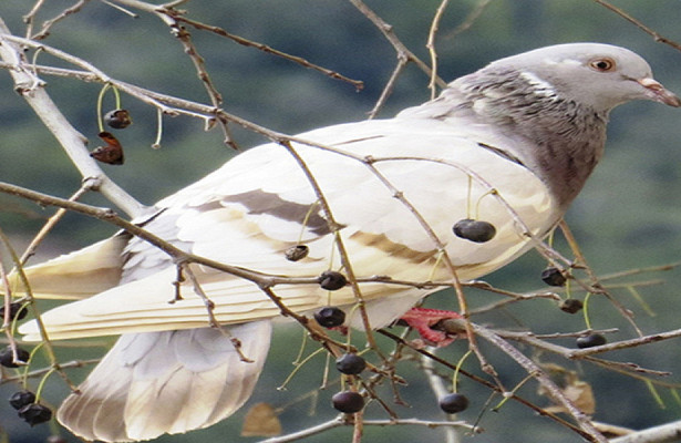 Австралийского голубя Джооставят вживых