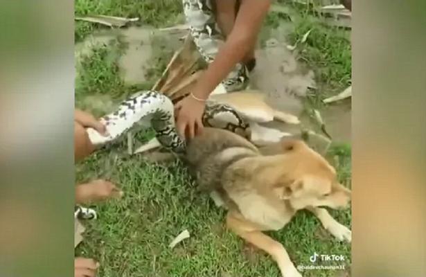Маленькие дети отбили собаку уогромного питона— видео