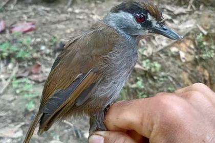 Считавшаяся вымершей птица найдена впервые за170лет